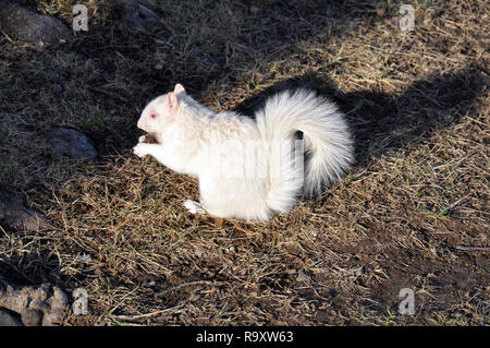 Albino Squirrel on the Grounds of the National Mall near the Smithsonian Institute in Washington DC - Stock Image