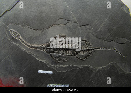 Guizhou Dragon fossil. Geological Museum of China. - Stock Image