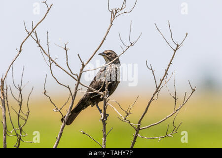 A yet to be identified bird at the San Luis National Wildlife Refuge in the Central Valley of California USA - Stock Image