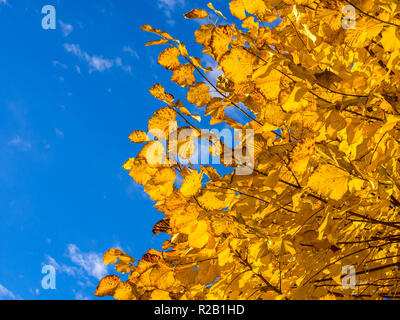 Autumn leaves of Lime tree against blue sky - France. - Stock Image