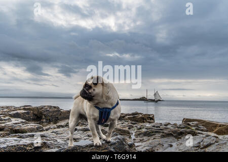 Mousehole, Cornwall, UK. 1st May 2019. UK Weather. Mild but overcast with some rain was the order of the day this morning for Titan the Pug, on the rocks at Mousehole. Credit Simon Maycock / Alamy Live News. - Stock Image