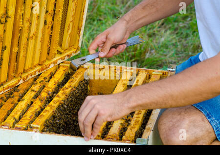 Frames of a bee hive. Beekeeper holding a honeycomb full of bees - Stock Image