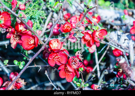 Bright red flowers of a Chaenomeles aka flowering quince aka Japanese quince with an early honey bee Apis mellifera flying between the flowers - Stock Image