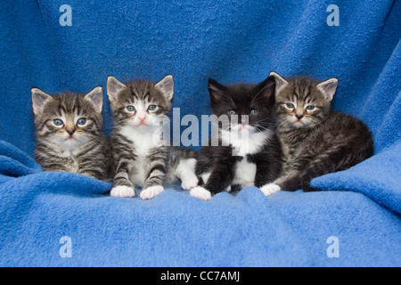 Domestic Cat, Four Kittens Sitting in a Row on a Blanket, Lower Saxony, Germany - Stock Image