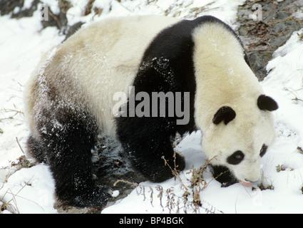Giant panda licks snow for moisture, Wolong, China - Stock Image