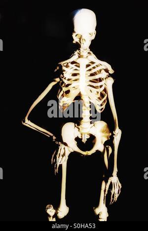 Skeleton - Stock Image