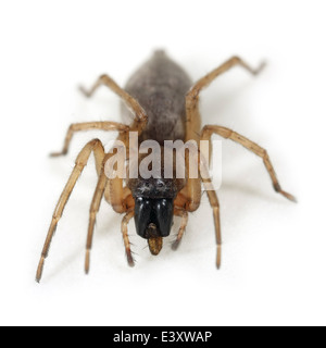 Female Tree sac spider (Clubiona pallidula), part of the family Clubionidae - Sac spiders. Isolated on white background. - Stock Image
