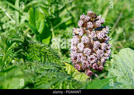 Butterbur (petasites hybridus), close up of a single flowering spike pushing up through the undergrowth. - Stock Image