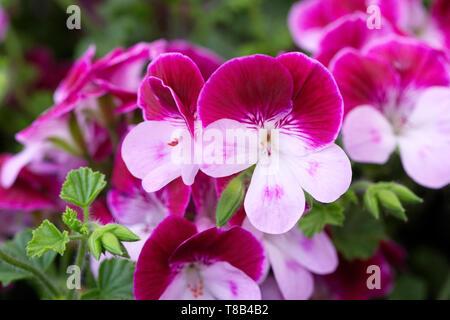 Pelargonium 'Captain Starlight' flowers. - Stock Image