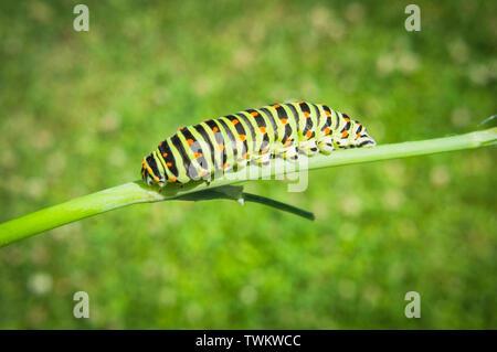 larva of Old World swallowtail, common yellow swallowtail, butterfly, caterpillar, Papilio machaon, Pruhonice, Czech Republic, June 18, 2019. (CTK Pho - Stock Image