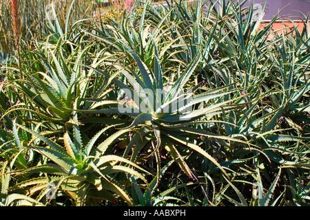 Babosa Aloe Vera - Stock Image