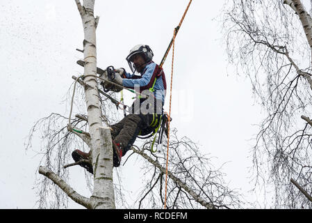 A tree surgeon cuts a silver birch branch with a chainsaw while wearing a full safety harness with climbing ropes - Stock Image