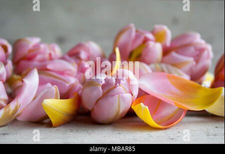 closeup of pink Dutch tulip, surrounded by petals on wooden backdrop - Stock Image