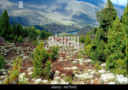Frailejon Plants Black Lagoon Sierra Nevada Venezuela - Stock Image