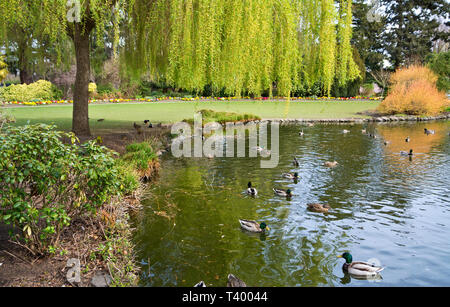 Pond with ducks at Beaon Hill Park in Victoria, BC,Canada in the Spring. - Stock Image