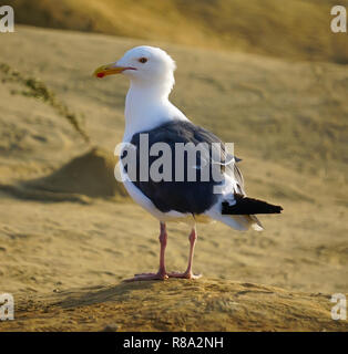 A white and black seagull standing on the sand - Stock Image