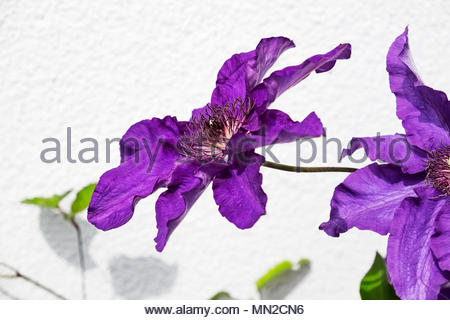 Purple Clematis jackmanii, blooming in mid-May - Stock Image