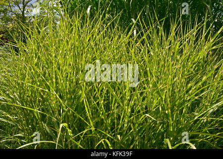 Grass Miscanthus sinensis 'Zebrinus' growing in an area of assorted grasses - Stock Image