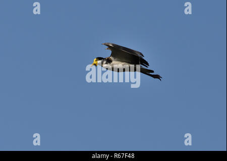 An Australian, Queensland Masked Lapwing ( Vanellus miles ) flying by - Stock Image