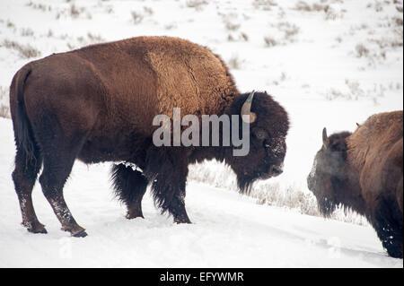 Yellow Stone National Park, winter Buffalo - Stock Image