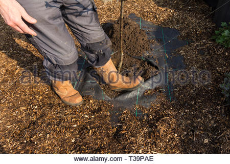 Heeling in a newly planted apple tree - Stock Image