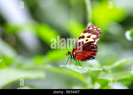 Macro photography of Golden Helicon Longwing Butterfly (Heliconius Hecale) with its proboscis on green leaf with selective focus and soft background. - Stock Image