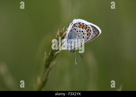 Silver   studded blue Male at rest on grass stalk Hungary May 2015 - Stock Image