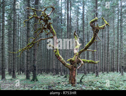 Old dead tree with green branches covered by moss. Beautiful natural artwork in a dark mysterious spruce forest. Monumental wood torso. Dry treetop. - Stock Image