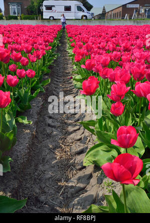 Fields of Tulips in Holland specially grown for their famous bulbs - Stock Image