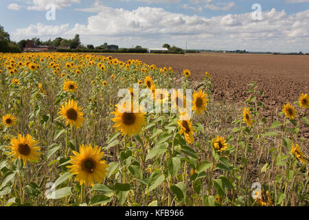 Field margin set aside for sunflowers(Helianthus Annuus), Barrrow in Humber, Lincolnshire - Stock Image