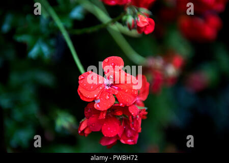 Thaxted, Essex. 15th Oct 2018. UK Weather: Last colours of Autumn in my garden in Thaxted Essex England. 15 October 2018 Pelargonium Credit: BRIAN HARRIS/Alamy Live News - Stock Image