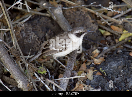 Galapagos Mockingbird, Nesomimus parvulus syn mimus parvulus, Santa Cruz Island (Indefatigable), Galapagos Islands, - Stock Image