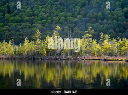 USA, New York State. Sunlit pines in spring on Labrador Pond. - Stock Image
