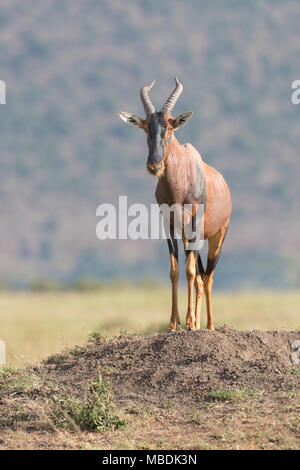 Male Topi, Damaliscus korrigum, looking out from an ant-hill in the Masai Mara, Kenya - Stock Image