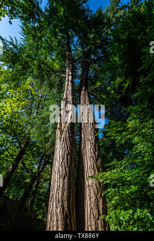 Italy Piedmont Turin Valentino botanical garden -  Tree Grove - Gingko Biloba tree - Stock Image