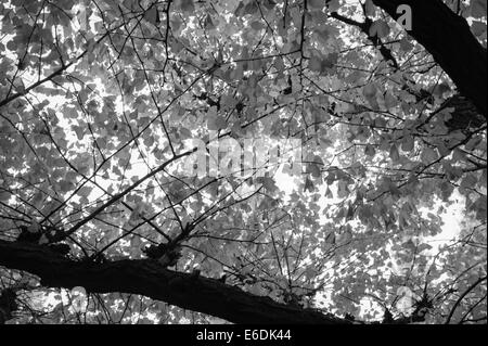 Ginko leaves in the autumn in Tokyo - Stock Image