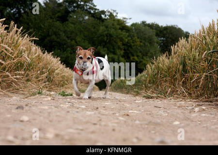 Elderly Jack Russell Terrier on country walk - Stock Image