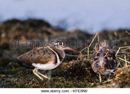 male Greater Painted Snipe,(Rostratula benghalensis), Keoladeo Ghana National Park, Bharatpur, Rajasthan, India - Stock Image