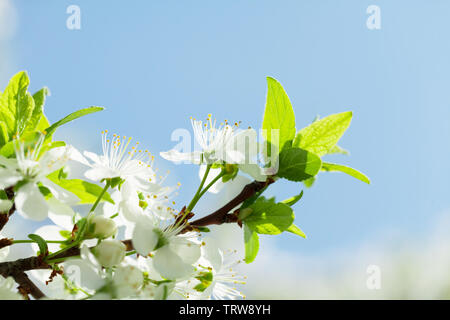 Apple blossom spring tree in front of sunny blue sky with copy space. Summer background - Stock Image