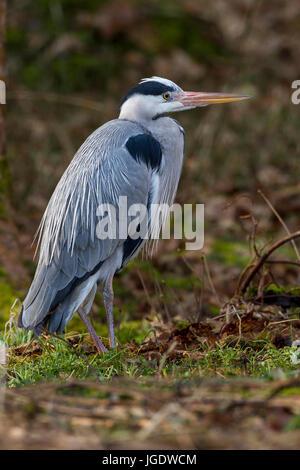 Grey heron, Ardea cinerea, Graureiher (Ardea cinerea) - Stock Image
