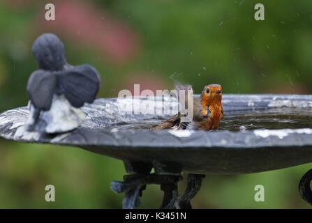 European Robin (Erithacus rubecula) in metal bird bath, Germany - Stock Image