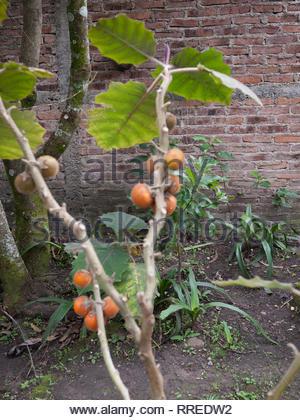 Naranjilla plant with fruits in a Nicaraguan highland garden. - Stock Image