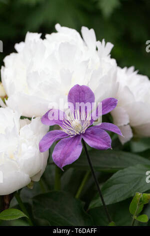 Purple Clematis growing through a white Peony. - Stock Image
