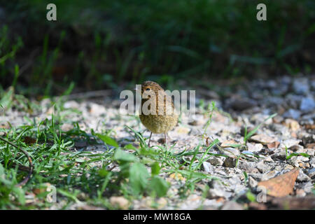 A baby Robin fledgeling waiting on the ground to be fed by its parents in a English garden. - Stock Image