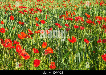 Cotswold landscape scene with field poppies in a wheat field near the  village of Ford, Gloucestershire - Stock Image