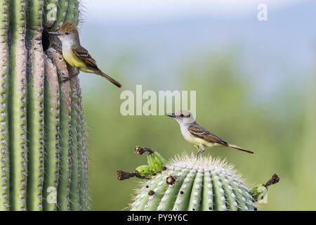 A pair of Brown-crested Flycatchers (Myiarchus tyrannulus) bring food to babies in a nest in a Saguaro (Carnegiea gigantea). Tucson - Stock Image