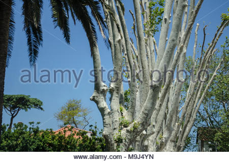 Tree stems and palms, typical for the Mediterranean region - Stock Image