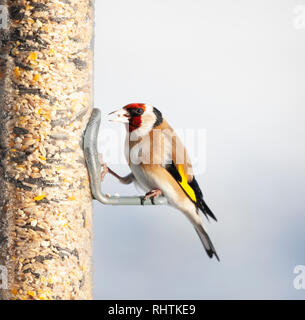 European Goldfinch, Carduelis carduelis, perched on a bird feeder filled with mixed seeds, against a totally defocussed snowy background. It has a see - Stock Image