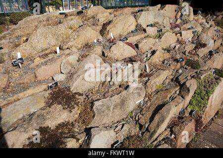 Planted between rocks, alpine plants at the Royal Horticultural Society gardens at Wisley - Stock Image