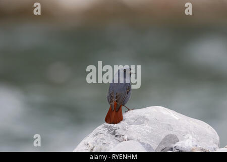 Plumbeous Water Redstart, Phoenicurus fulignosus, male calling and displaying tail - Stock Image